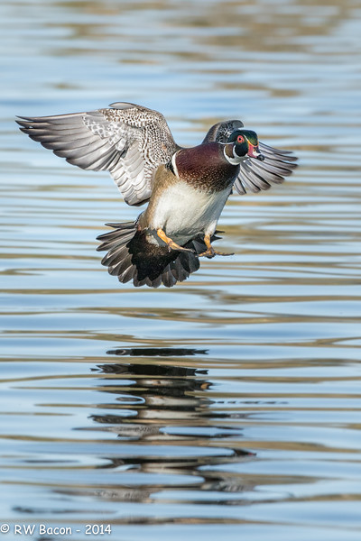 Wood Duck Landing.jpg