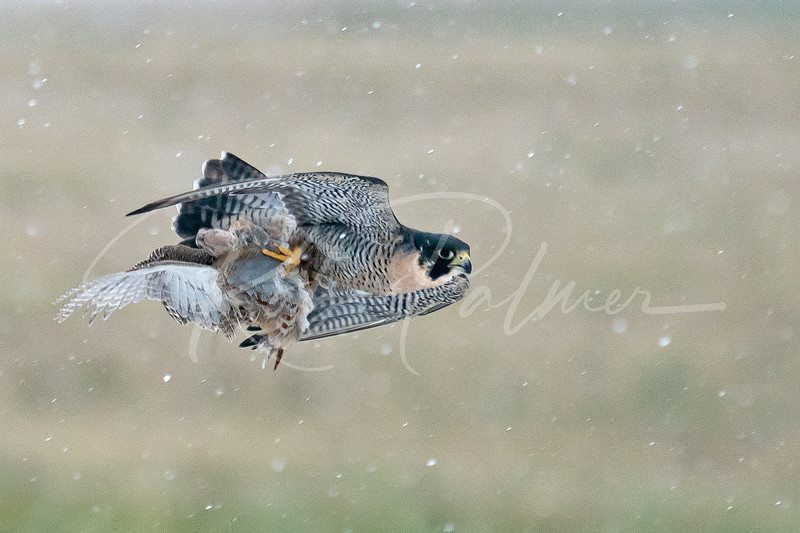 Peregrine Falcon with hun