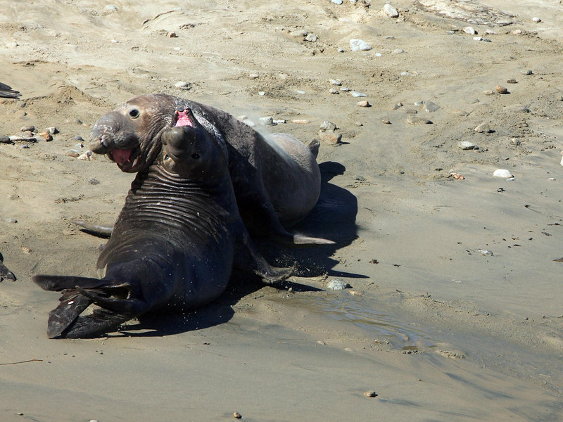 A typical male elephant seal fight - threatening, vocalizing, and lunging. The winner remains with the submissive looser crawling away.