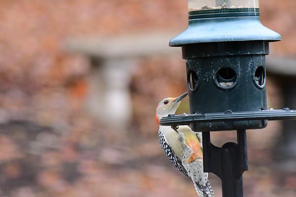 Feeder Woodpeckers