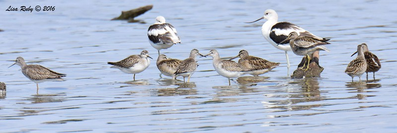Multiple lesser Yellowlegs, Dowitchers (long-billed?), and American Avocets -  9/4/2016 - Sweetwater Reservoir