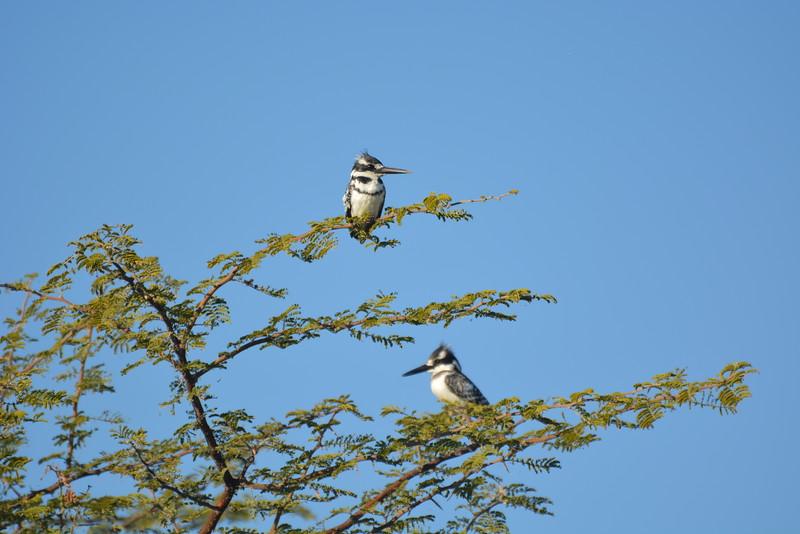 Pied Kingfishers, Okavango River Near Shakawe, Botswana
