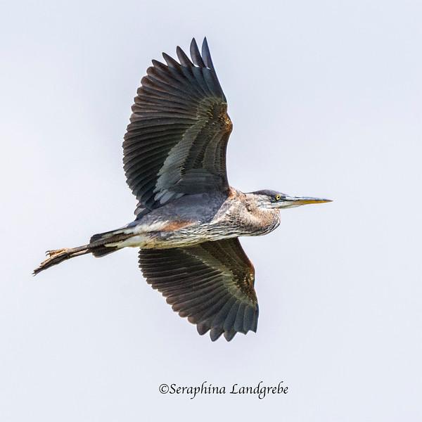 _DSC1776Great Blue Heron.jpg