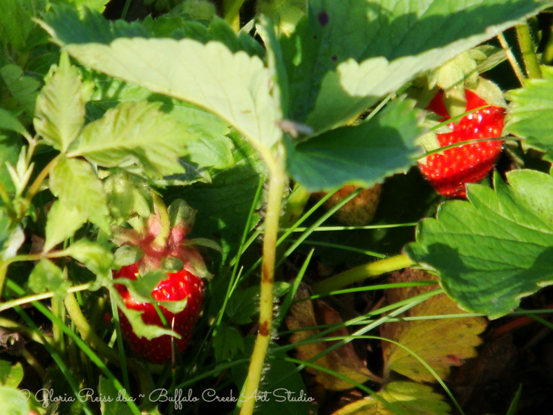 Strawberries in the grass