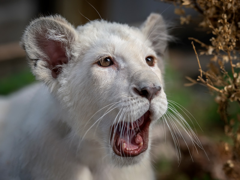 Lea, the white baby lion