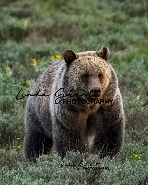 850_5396grizzly.jpg