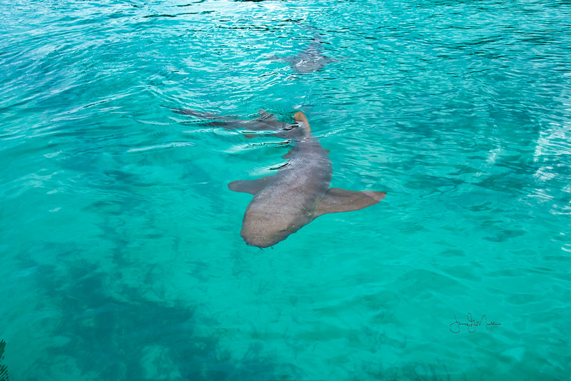 Nurse shark.jpeg