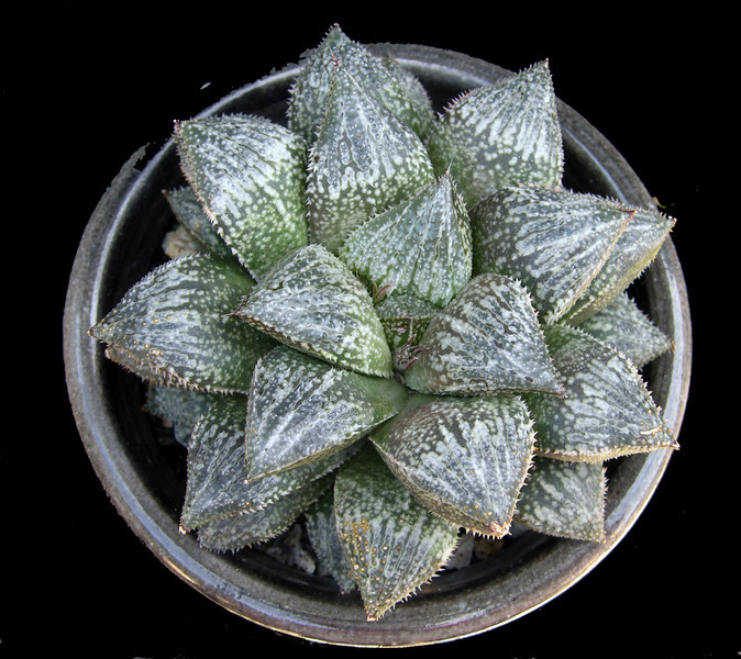Haworthia Prinkly Pete x Bev's Wonder