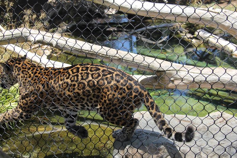 20170807-097 - San Diego Zoo - Leopard.JPG