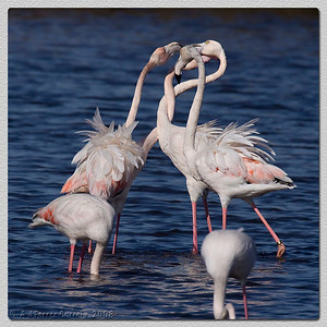 Flamingos da Ria de Aveiro