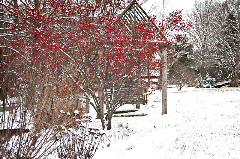Deciduous Holly called 'Sparkleberry'  a winter treat