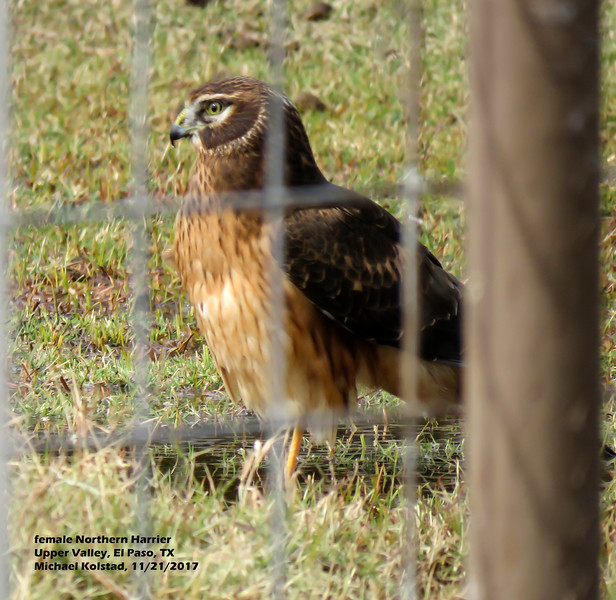 IMG_8720 3T fm Northern Harrier our pasture.jpg