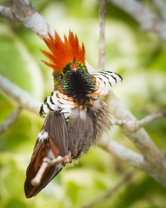 Frilled Hummingbirds Best