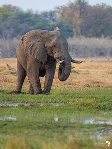 Elephant in the Okavango Delta