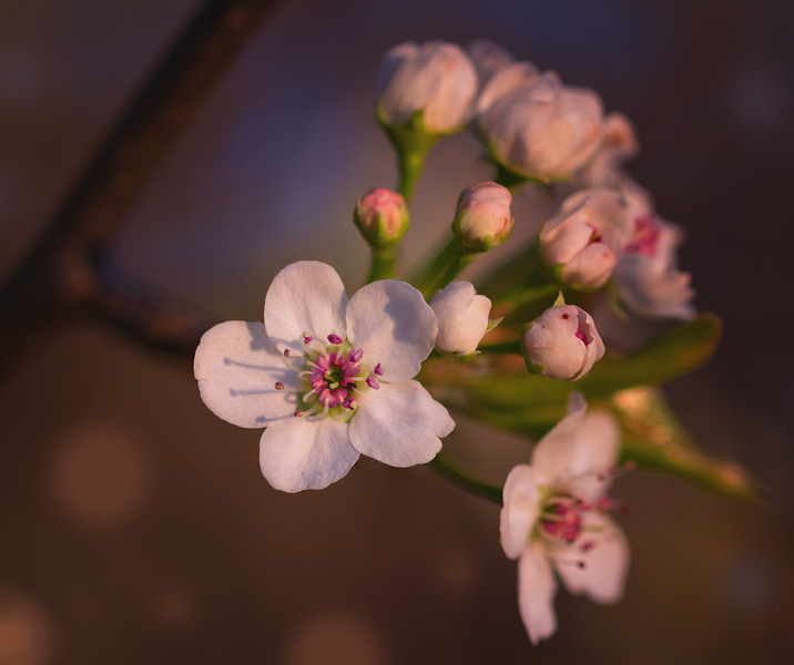 Spring Blossoms at Sunset