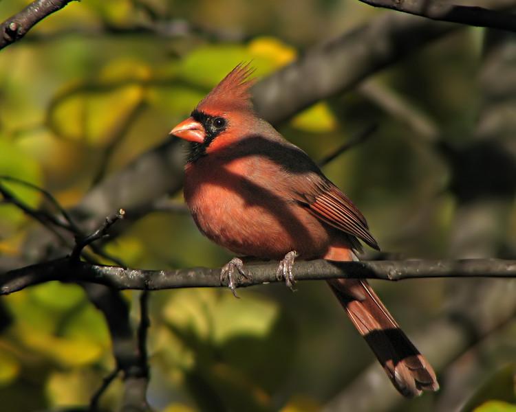cardinal_5919.jpg
