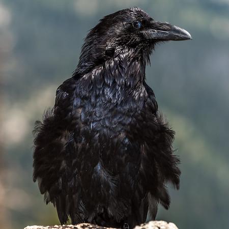 Common raven (Corvus corax)