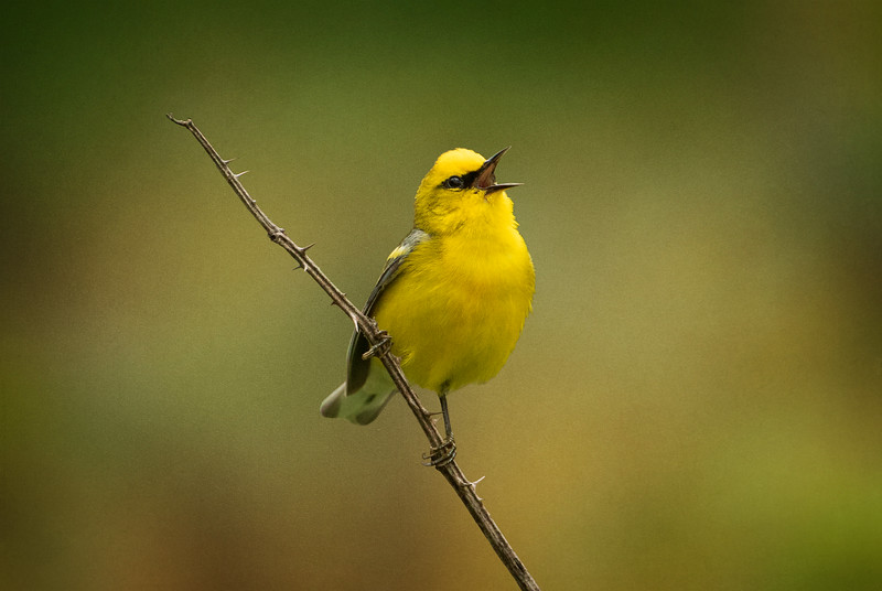 Singing Blue Winged Warbler