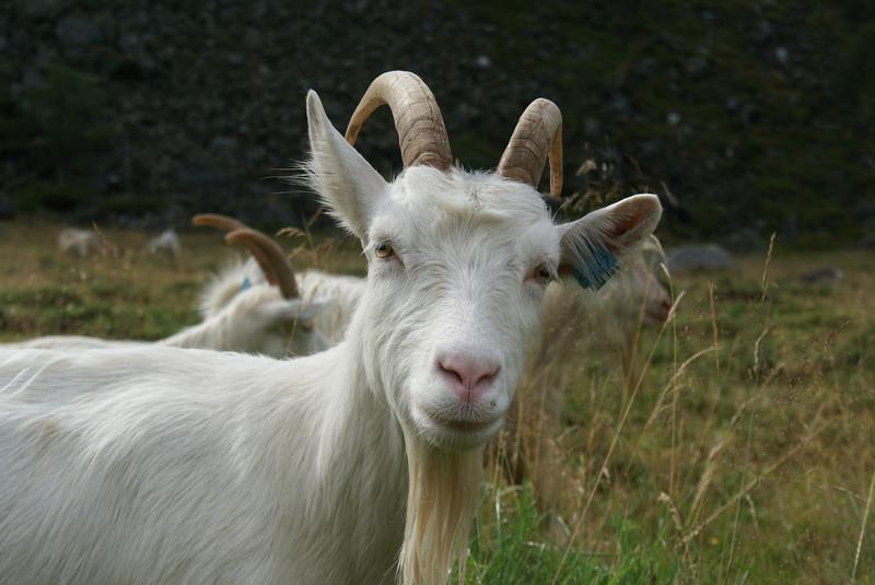 I like goats.