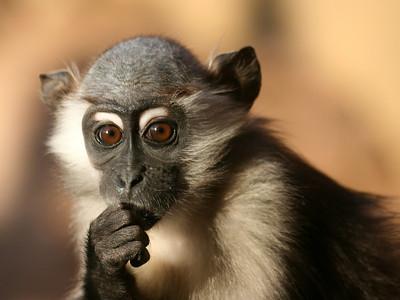 thinker monkey photo