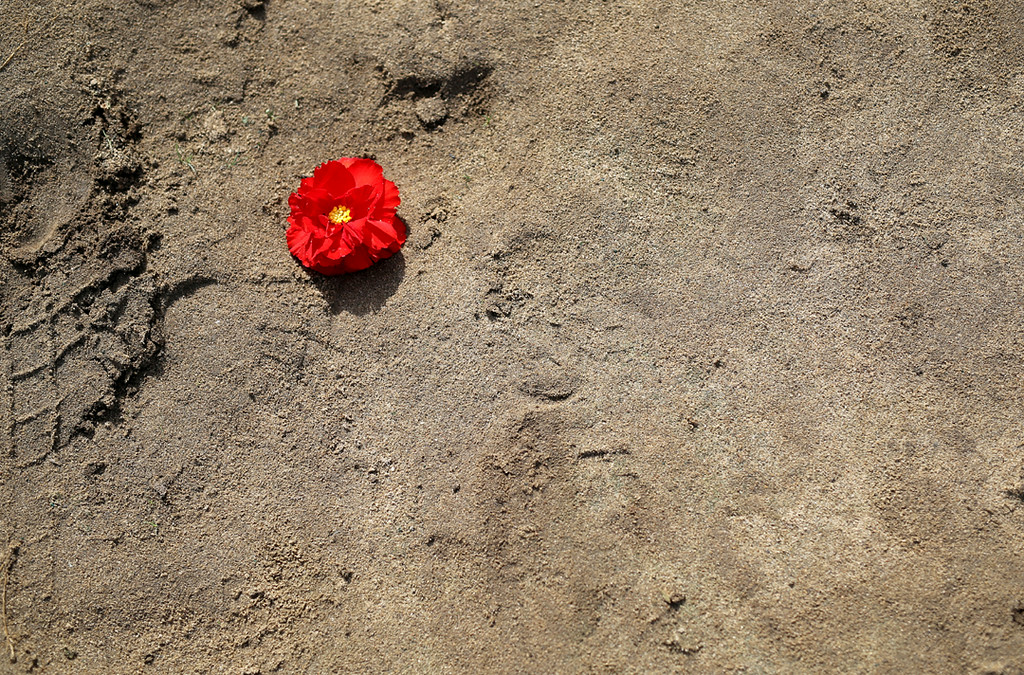 . A lone begonia lays in the sand in Marina Saturday as dozens pick flowers for the Begonia Festival Nautical Parade. (Kevin Johnson -- Santa Cruz Sentinel)