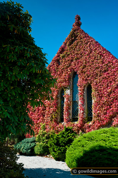 Red, autumnal ivy adorns the Uniting church, Mt Macedon
