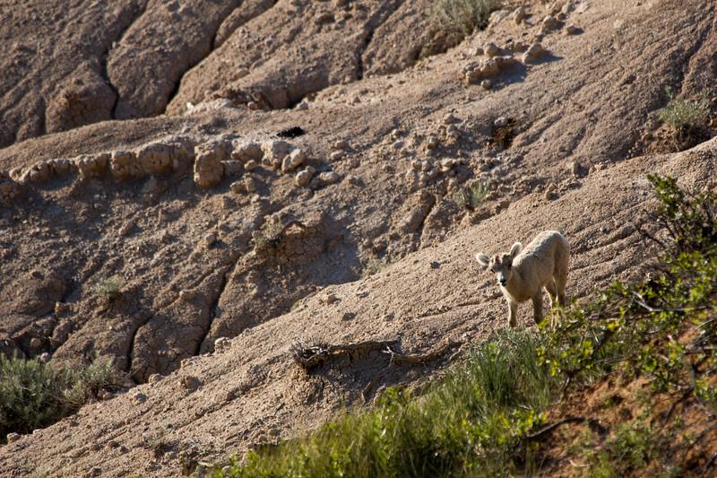 Sheep -8044.jpg