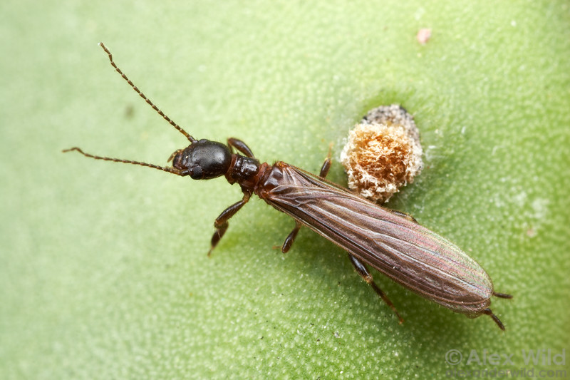 Oligotoma nigra