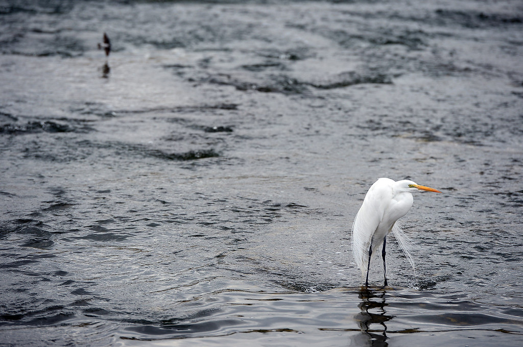 . An egret spends time in the L.A. River as U.S. Army Corps of Engineers resumes work on its controversial clearcut area in the Sepulveda Dam Basin in Encino Tuesday, February 19, 2013. Nearly a 50-acre wildlife reserve area was cleared of non-native trees and brush in the flood control basin last December. (SGVN/Staff Photo by Sarah Reingewirtz)