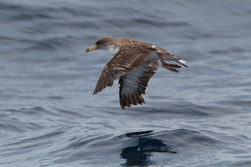 Cory's Shearwater borealis at Oregon Inlet pelagic trip, NC (08-22-2010) - 428 (08-22-2010)