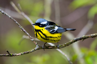 Warblers