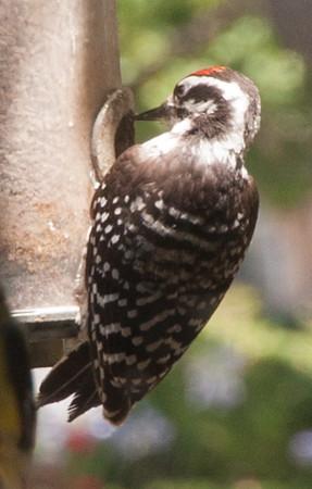 Woodpecker TBD at feeder
