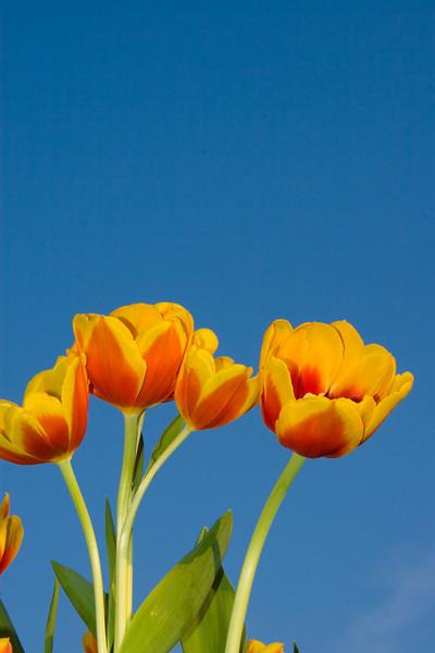 Tulips outdoor_22.jpg