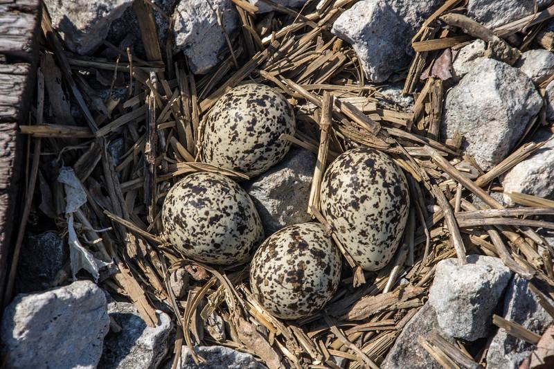 Killdeer-eggs-nest-closeup3-Canton.jpg