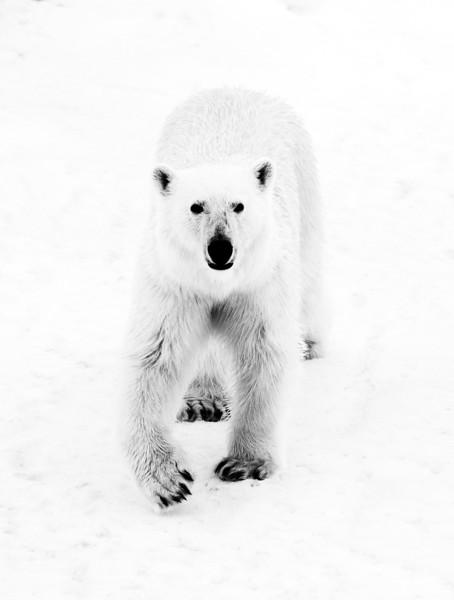 Polar Bear in BW near ship.jpg