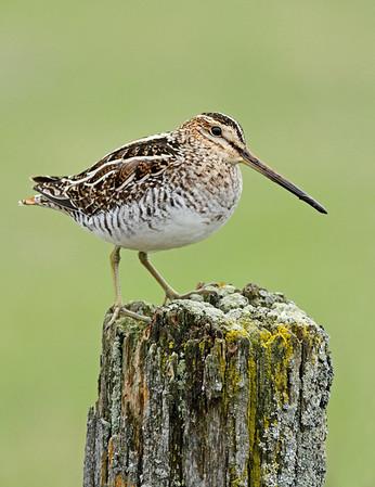 Shorebirds and Nightjars