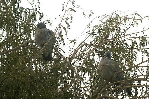 Common Woodpigeon (feral)