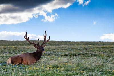 Elk - Tundra