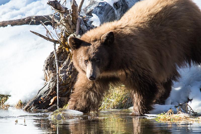 Tahoe Bear Fall 2020-4.jpg
