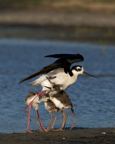 Black-necked Stilt and chicks