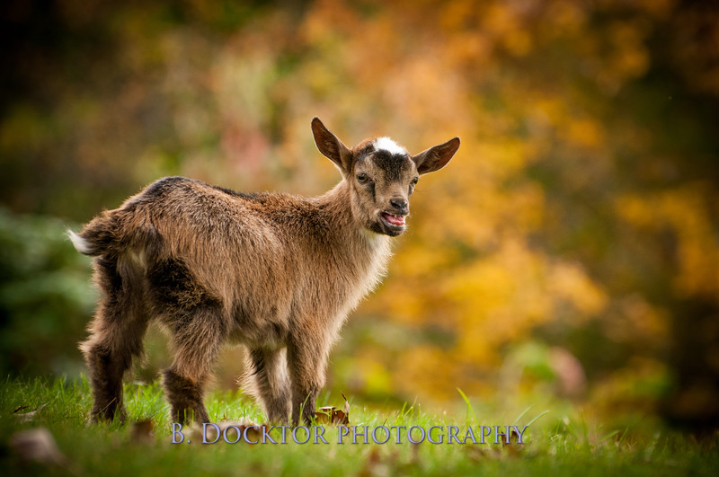 1310_Nigerian dwarf goats_119.jpg