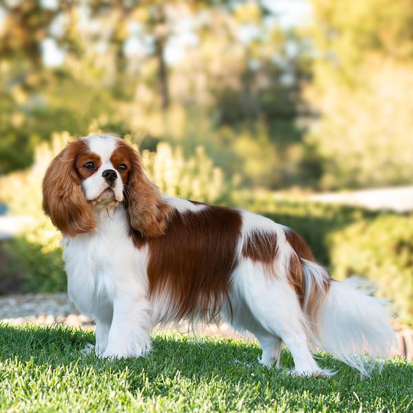 cavalier Portrait website.jpg