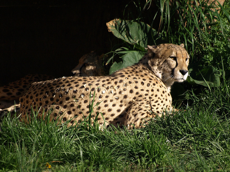 Cheetahs in their lair.