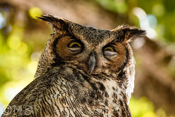 Great Horned Owl Image Gallery