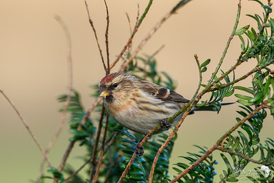 Female Redpoll
