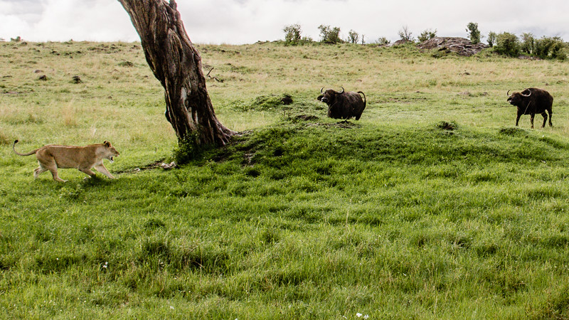 Attack of the Buffalos-0108.jpg