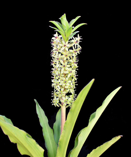 Eucomis Can Can