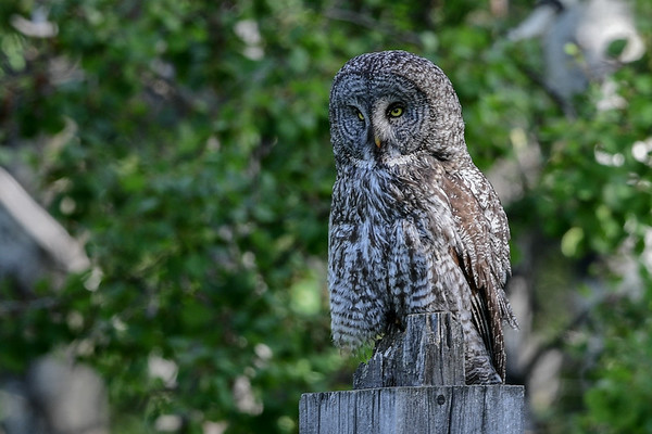 6-13-16 *^Great Gray Owl Second Site