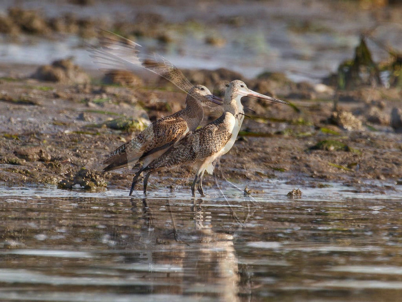 These Dowitchers were either fighting or mating--my guess would be the latter . . .