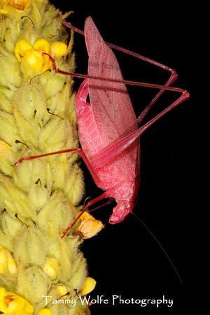 Katydid, Oblong-winged